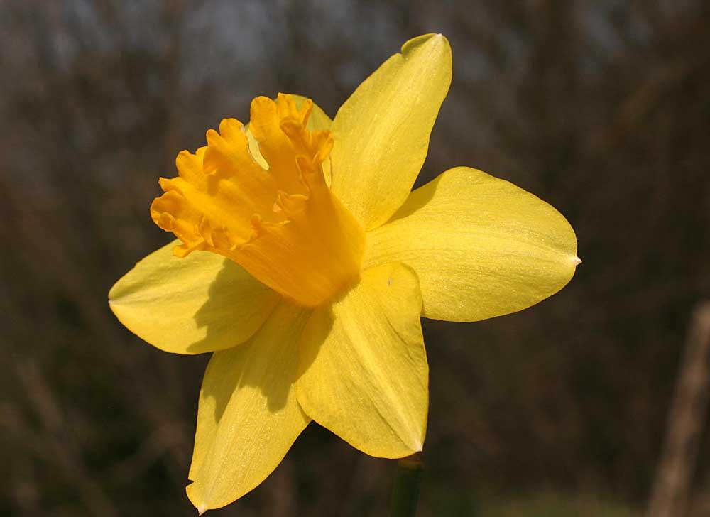 Narciso rezzoaglio aprile for Narciso giallo