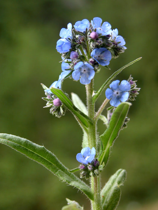 anchusa_bar862.jpg