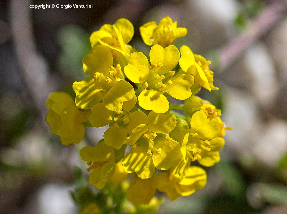 Fiori Gialli Medicinali.Alyssum Montanum