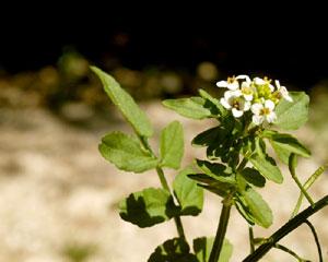 Nasturtium officinalis for Sempreverde con fiori bianchi e profumati