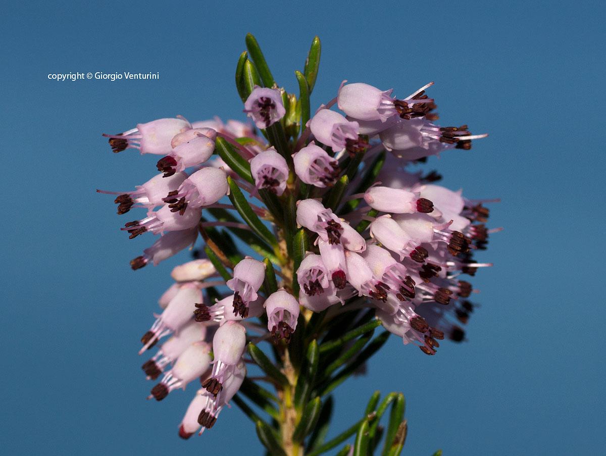 Fiori Bianchi Macchia Mediterranea.Erica