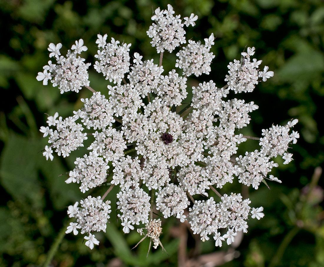 KAROTTE COSMIC PURPLE 200 Samen Daucus Carota Lila violette  Möhre