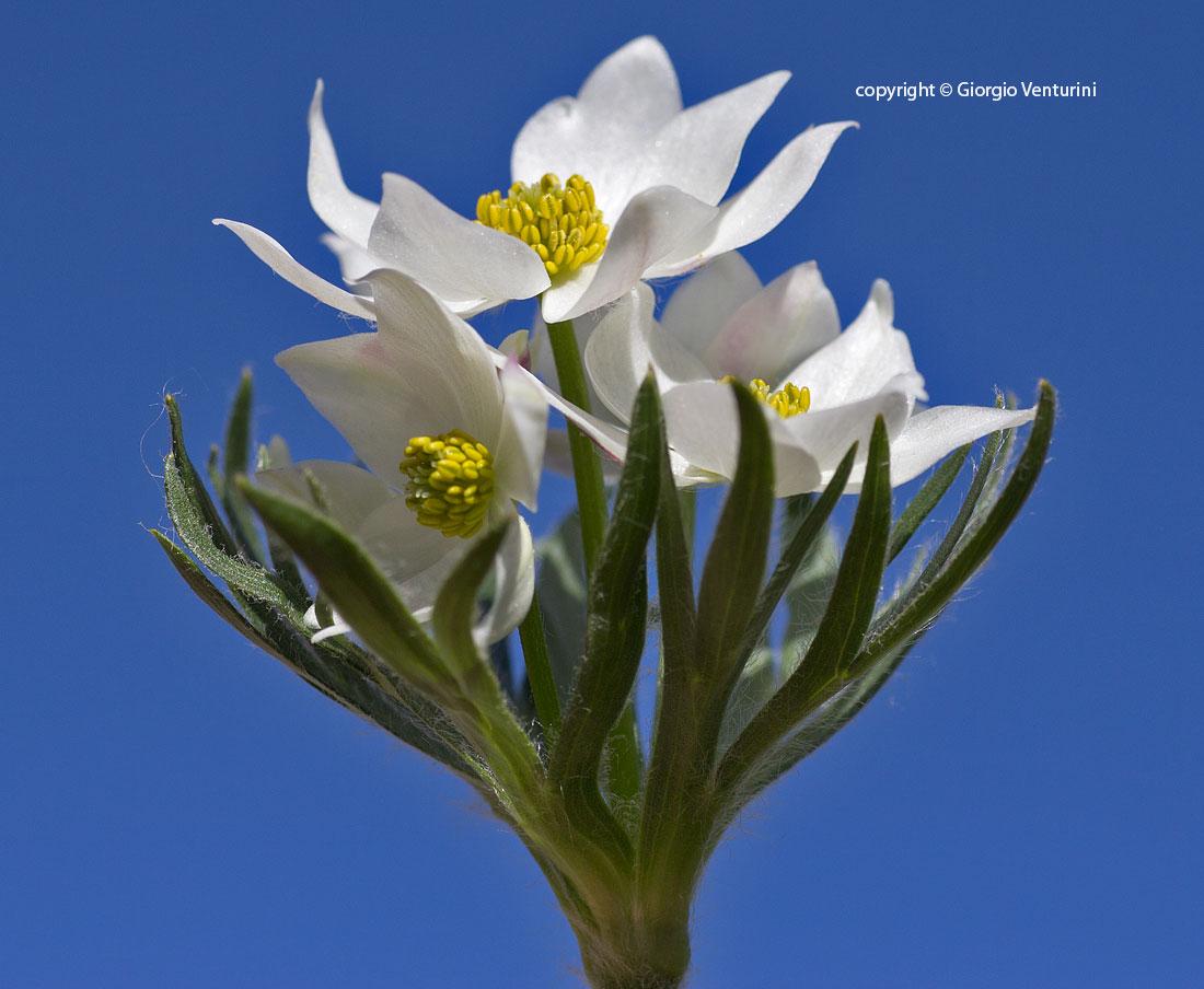anemone_narciss_gransasso_giugno_IMG_2521.jpg