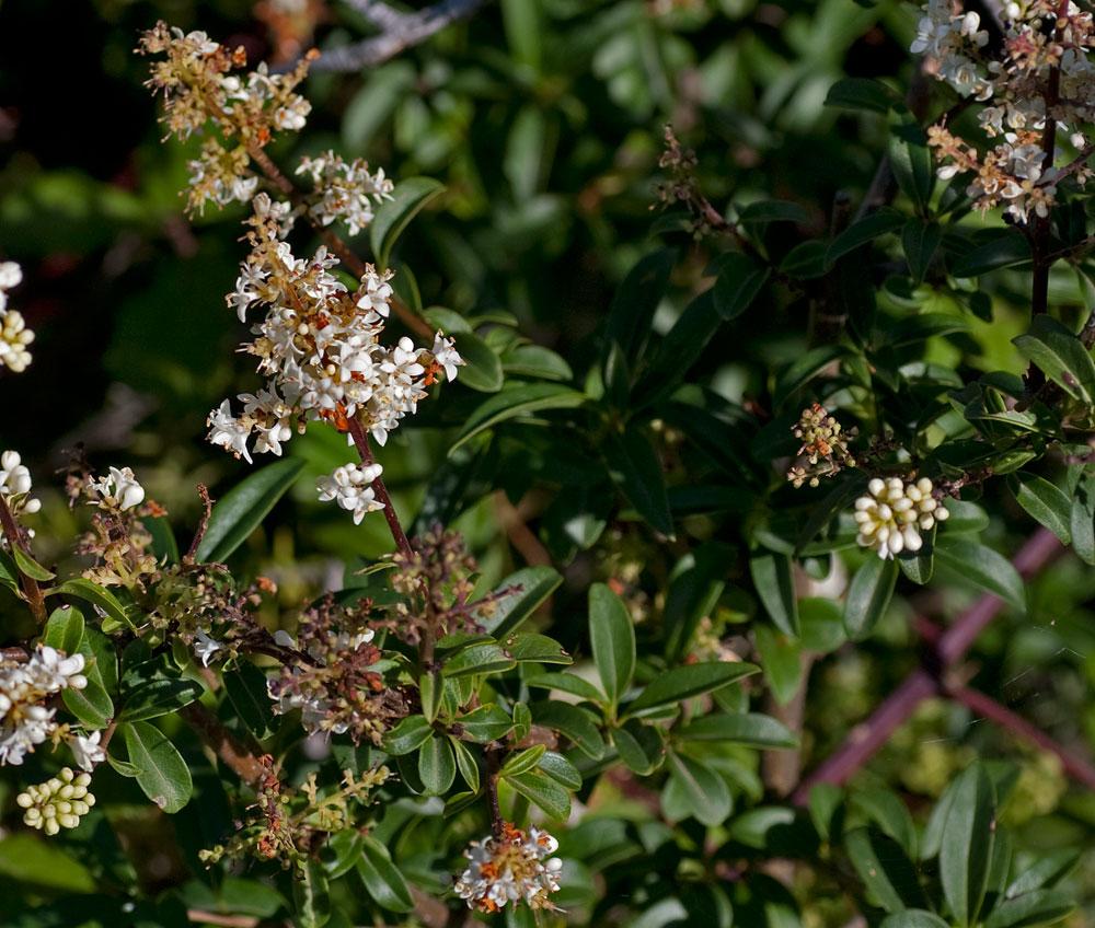 Arbusto Selvatico Fiori Bianchi Profumati ~ duylinh for