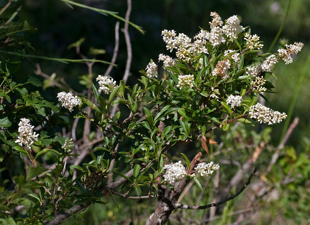 Arbusto selvatico fiori bianchi profumati decora la tua vita for Fiori bianchi profumati